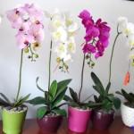 Hoa lan hồ điệp – hoa chúc mừng 20/10 tinh tế và đẳng cấp