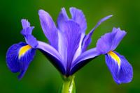 sinh-nhat-hoa-iris