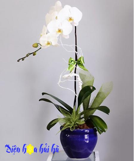 Chậu hoa lan hồ điệp 1 cây trắng