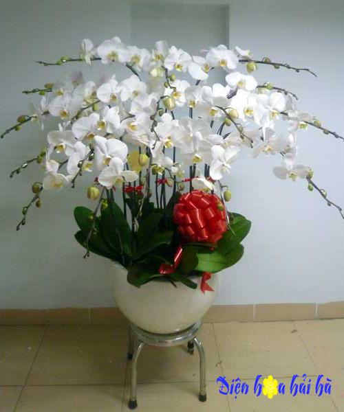 Chậu hoa lan hồ điệp 17 cây trắng