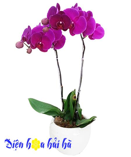Chậu hoa lan hồ điệp 2 cây tím