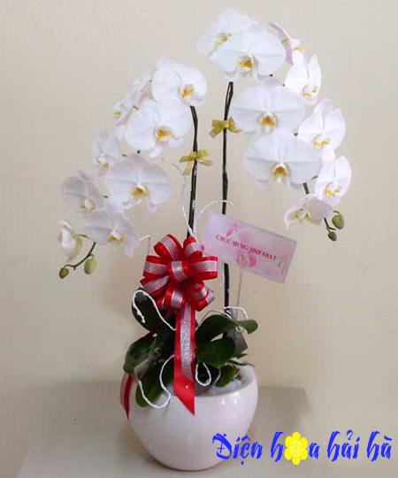 Chậu hoa lan hồ điệp 2 cây trắng