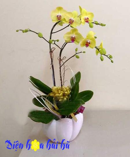 Chậu hoa lan hồ điệp 2 cây vàng