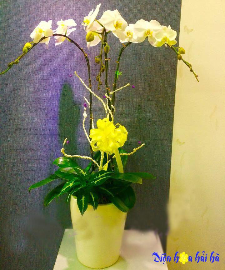 Chậu hoa lan hồ điệp 3 cây trắng