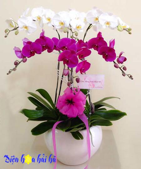 Chậu hoa lan hồ điệp 6 cây tím trắng
