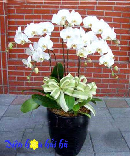 Chậu hoa lan hồ điệp 6 cây trắng