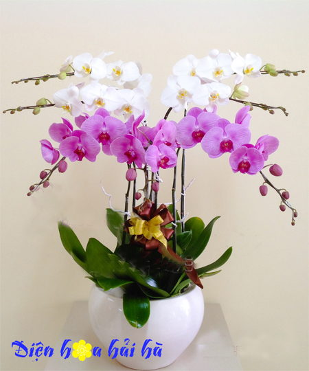 Chậu hoa lan hồ điệp 7 cây tím trắng