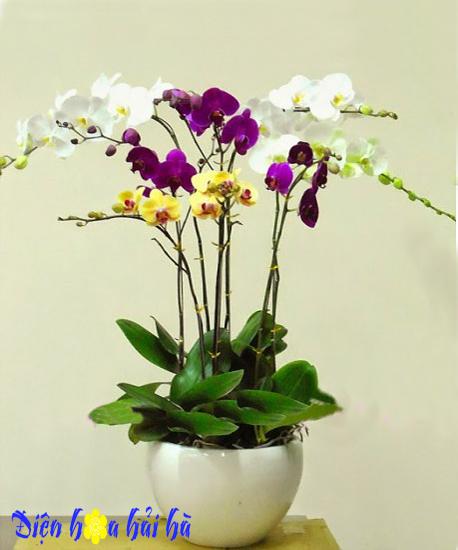 Chậu hoa lan hồ điệp 8 cây trắng vàng tím