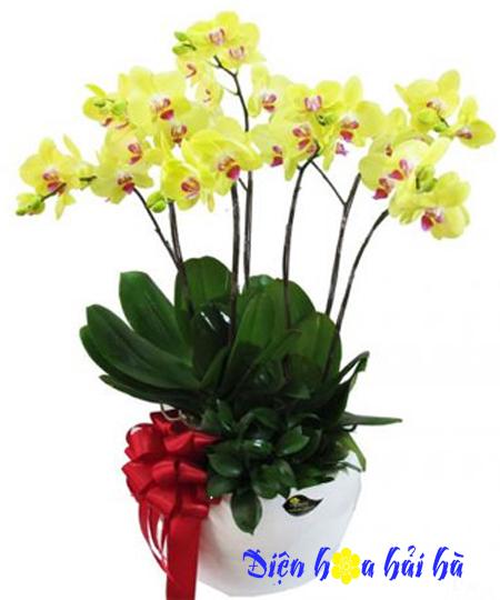 Chậu hoa lan hồ điệp vàng 7 cây