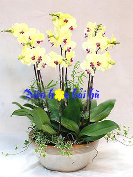 Chậu hoa lan hồ điệp 8 cây vàng