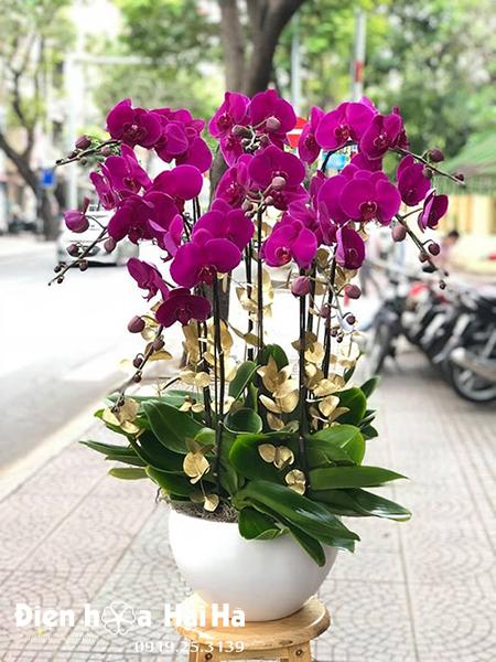 Chậu hoa lan hồ điệp 8 cây tím