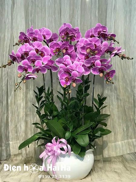 Chậu hoa lan hồ điệp 10 cây màu tím