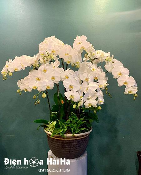 Chậu hoa lan hồ điệp 12 cây màu trắng