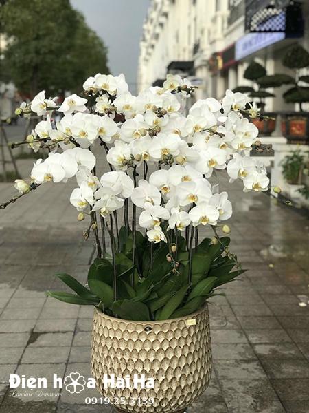 Chậu hoa lan hồ điệp 17 cây màu trắng