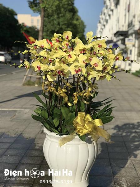 Chậu hoa lan hồ điệp 20 cây màu vàng