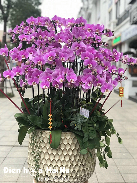 Chậu hoa lan hồ điệp 25 cây màu hồng