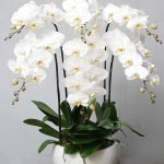 Chậu hoa lan hồ điệp 6 cây màu trắng