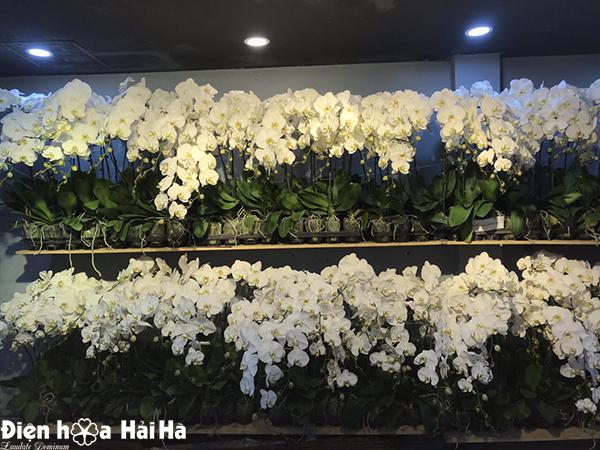 Chậu hoa lan hồ điệp màu trắng